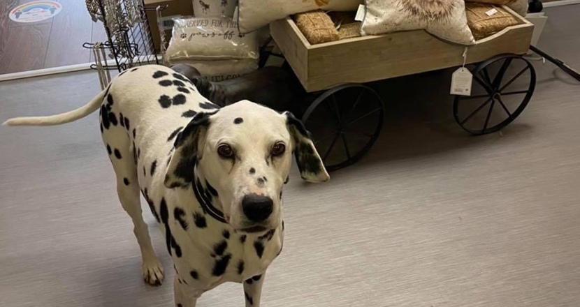 A dog from Two Spotty Dogs